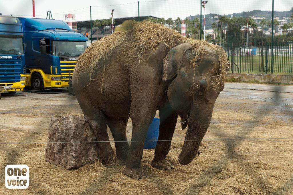 Les éléphants ne sont pas heureux en captivité one voice One Voice, plus qu'une voix pour les animaux One Voice e  le  phante Maya Cirque 1024x683