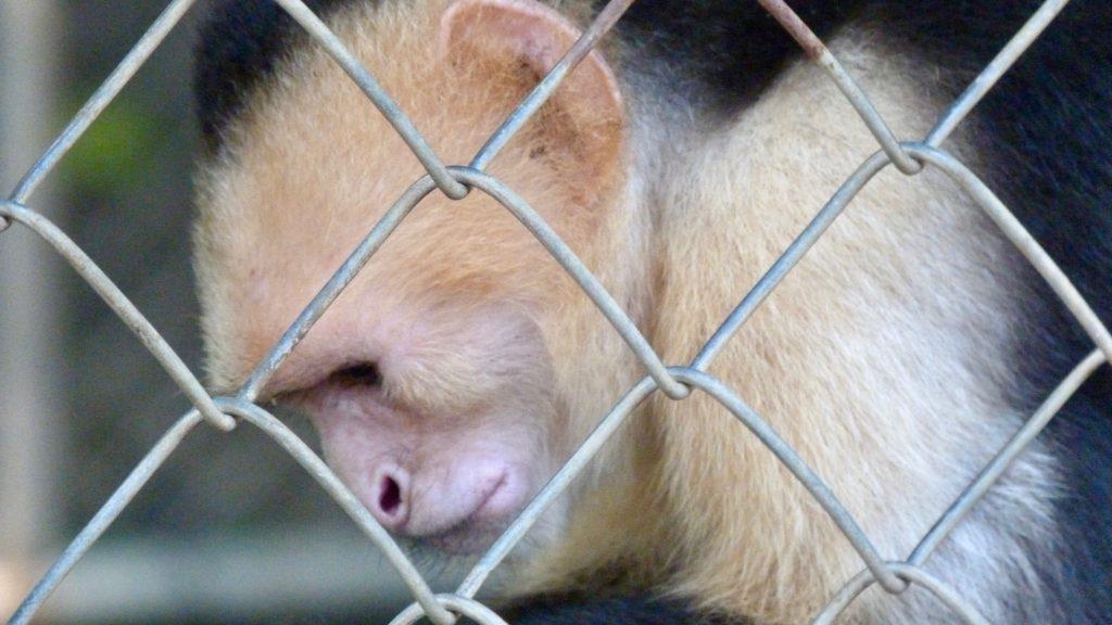 De nombreux singes sont arrachés à la nature pour être domestiqués costa rica Droit des animaux au Costa Rica : un Eden sur terre? P1050260 1024x576