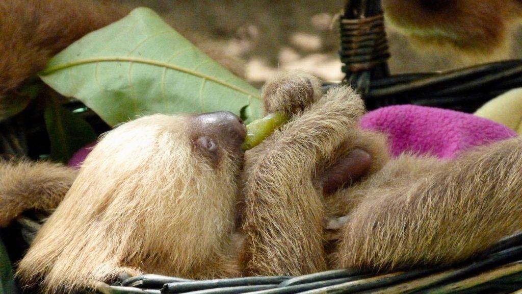 Les centres de sauvegarde prennent soins des paresseux costa rica Droit des animaux au Costa Rica : un Eden sur terre? P1050405 1024x576