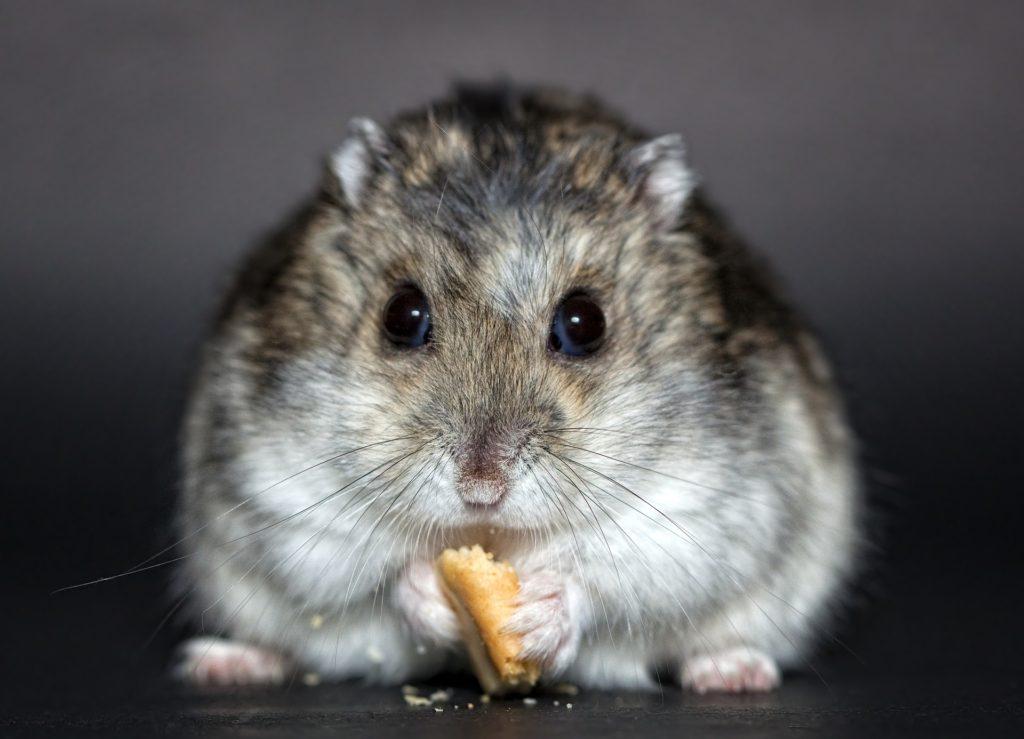 Un hamster russe, compatible avec la captivité animaux de compagnie Une Liste Positive pour animaux de compagnie hamster 1772742 1920 1024x739