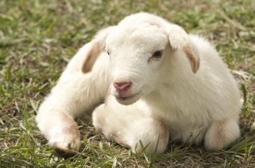 sentient Respectons tous les êtres sentients lamb 2216160 1920 500x330