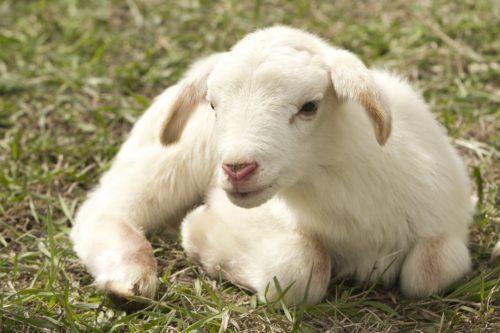 Respectons tous les êtres sentients sentient Respectons tous les êtres sentients lamb 2216160 1920 500x333
