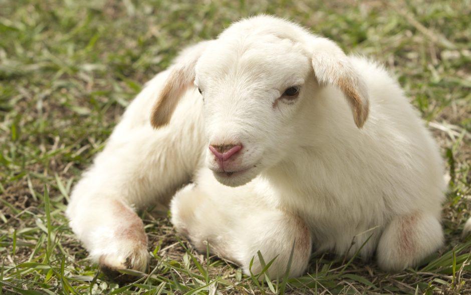 sentient Respectons tous les êtres sentients lamb 2216160 1920 940x590
