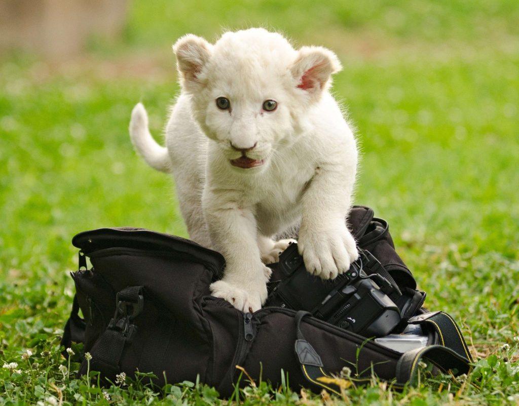 Un animal sauvage n'est pas fait pour la captivité  animaux de compagnie Une Liste Positive pour animaux de compagnie lion white 2801384 1920 1024x802