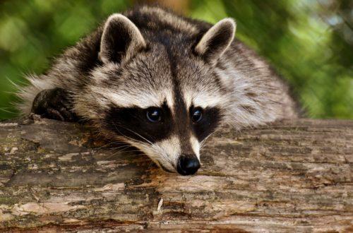 animaux de compagnie Une Liste Positive pour animaux de compagnie raccoon 3538081 1920 500x330