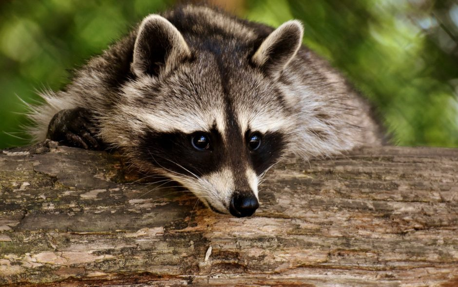 animaux de compagnie Une Liste Positive pour animaux de compagnie raccoon 3538081 1920 940x590