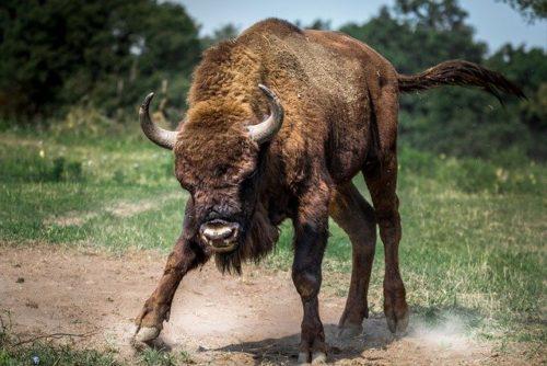 En mémoire des bisons abattus en Haute-Savoie buffalo En mémoire des bisons abattus en Haute-Savoie bison european 2118538 640 500x334