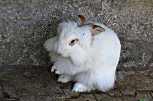 lapin Epilation des lapins angoras : une immense souffrance bunny 2694673 640 500x330
