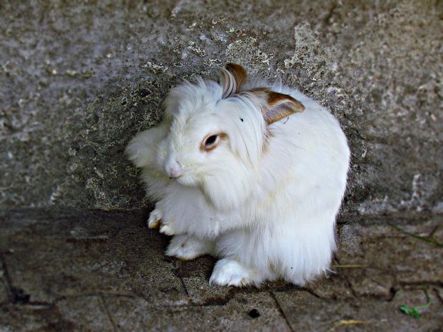 lapin Epilation des lapins angoras : une immense souffrance bunny 2694673 640