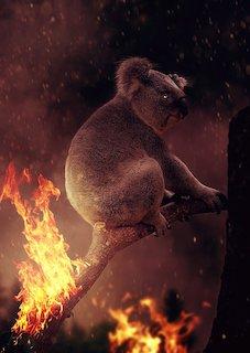 La lente agonie de l'Australie australie La lente agonie de l'Australie koala 4775652 1280 1