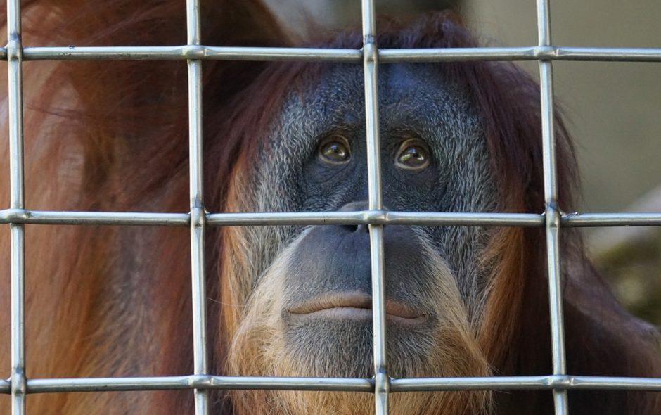 orang outan Une vie meilleure pour Sandra l'Orang-Outan orang utan 1654703 1280 940x590
