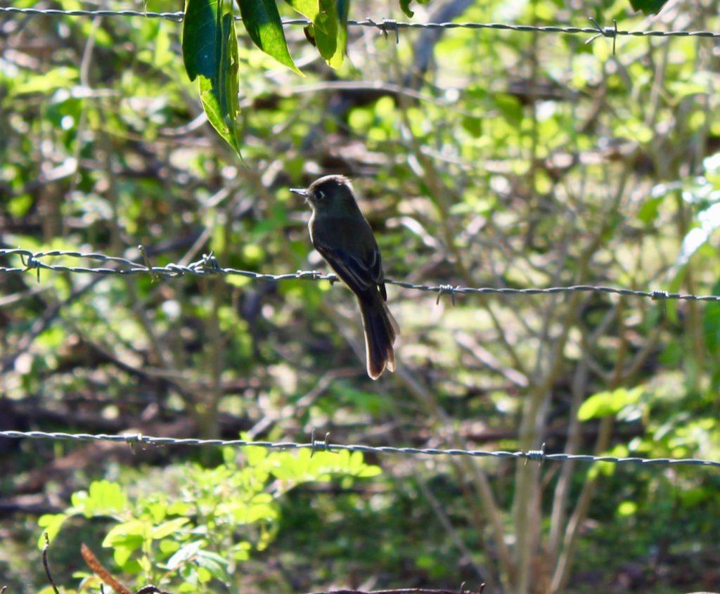colibri Sur la piste du plus petit oiseau au monde Moucherolle te  te fou 1024x845