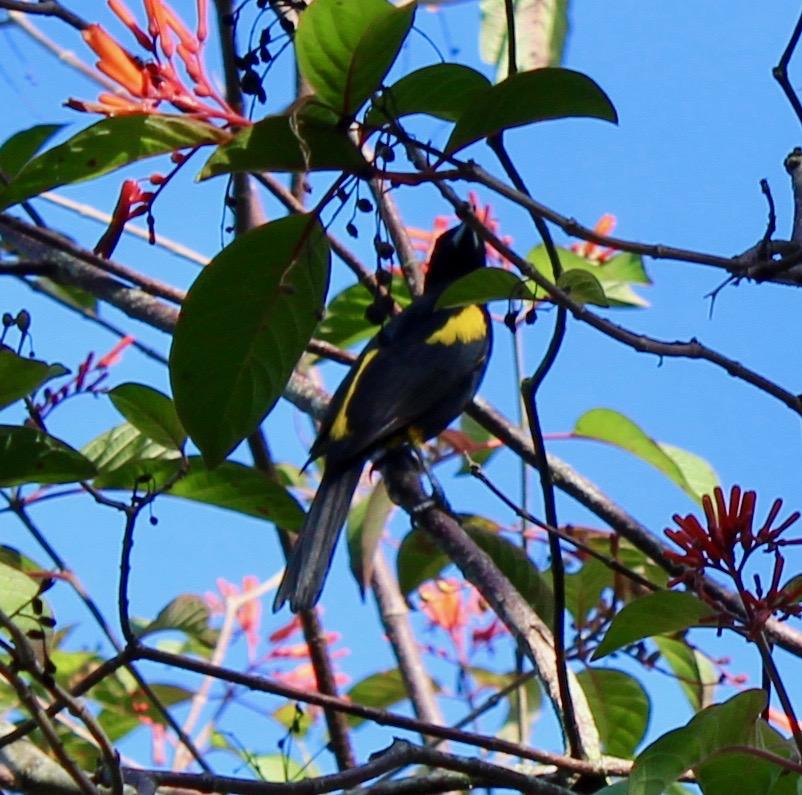 colibri Sur la piste du plus petit oiseau au monde Oriole de Cuba