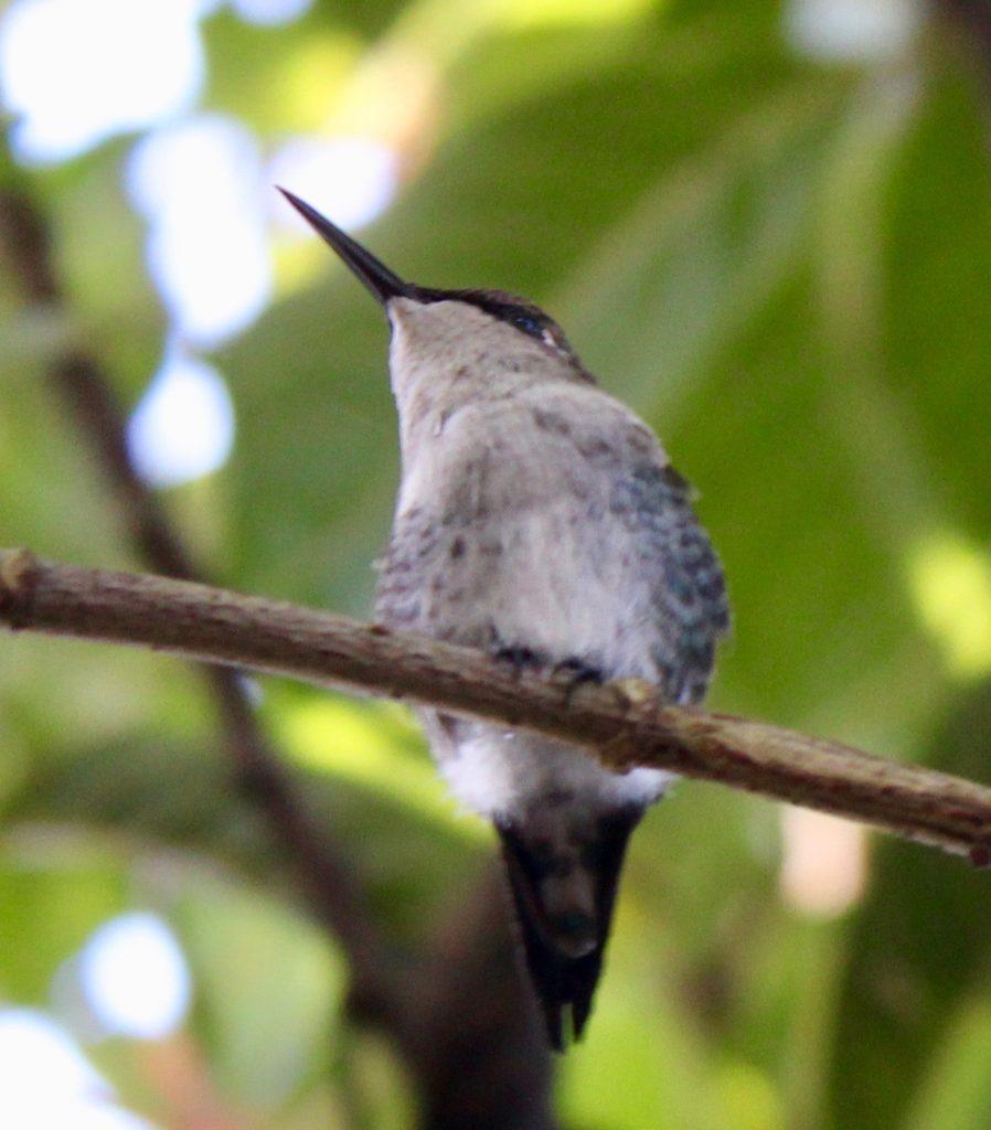 colibri Sur la piste du plus petit oiseau au monde colibri dElena 1 898x1024