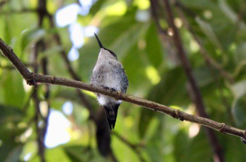 colibri Sur la piste du plus petit oiseau au monde colibri dElena 2 500x330