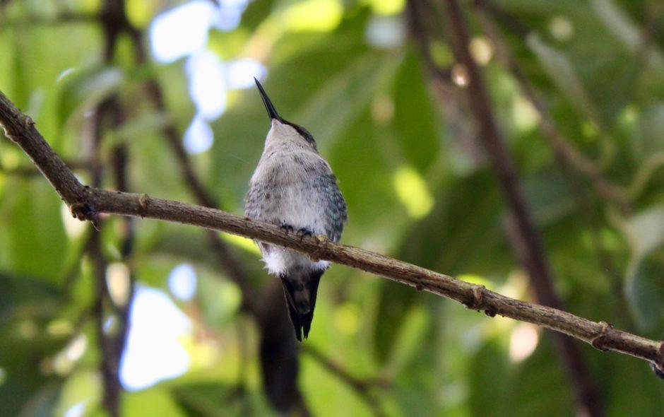 colibri Sur la piste du plus petit oiseau au monde colibri dElena 2 940x590