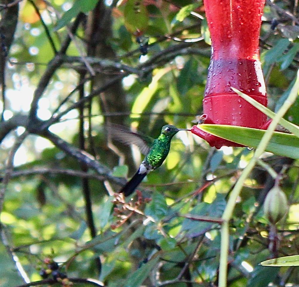 colibri Sur la piste du plus petit oiseau au monde colibri e  meraude