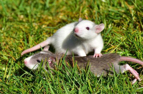 rat Quand les rats ne veulent pas blesser d'autres rats rat 1388830 1920 500x330