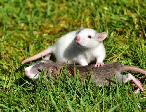 Quand les rats ne veulent pas blesser d'autres rats rat Quand les rats ne veulent pas blesser d'autres rats rat 1388830 1920 500x384