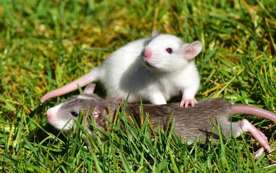 rat Quand les rats ne veulent pas blesser d'autres rats rat 1388830 1920 940x590