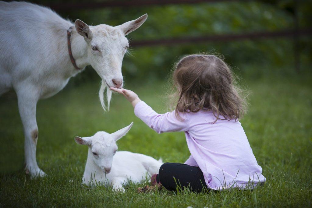 animaux Peut-on être « amis » avec les animaux? goat 3017394 1920 1024x683